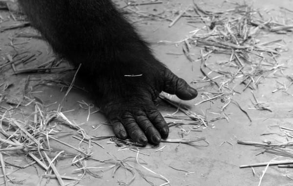 Gorilla 04