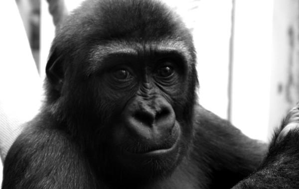 Gorilla 03