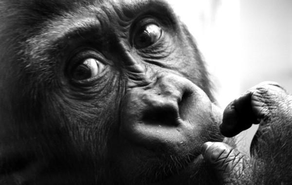Gorilla 02