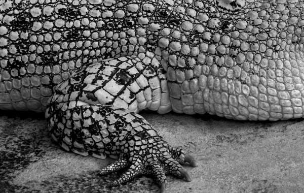 Krokodil 02