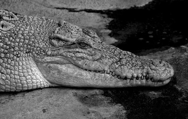 Krokodil 01